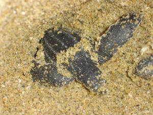 leatherbackhatchlings039.jpg